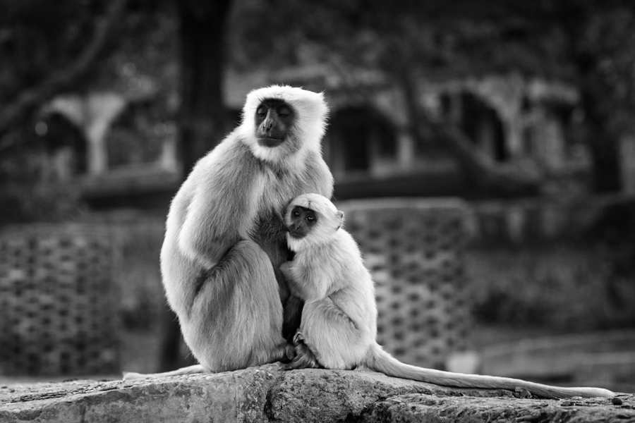 The southern plains gray langur (Semnopithecus dussumieri) is the most widely found species of langur in India. It natural habitat is typically rural and forested areas but some troops dwell in the cities.