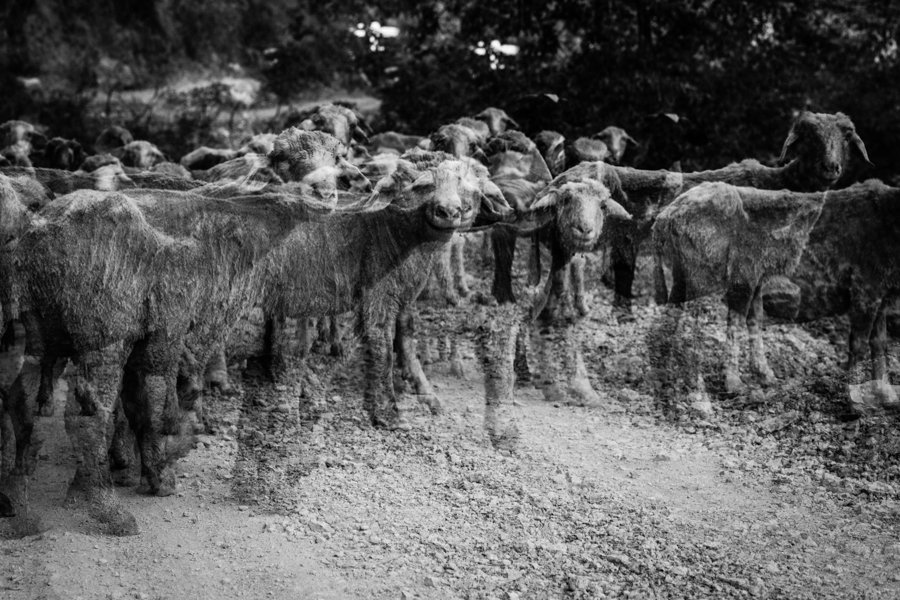 Sheep flock at Nir Falls (multiple exposure). The sheap bread for their wool only as meat is banned in Rishikesh.