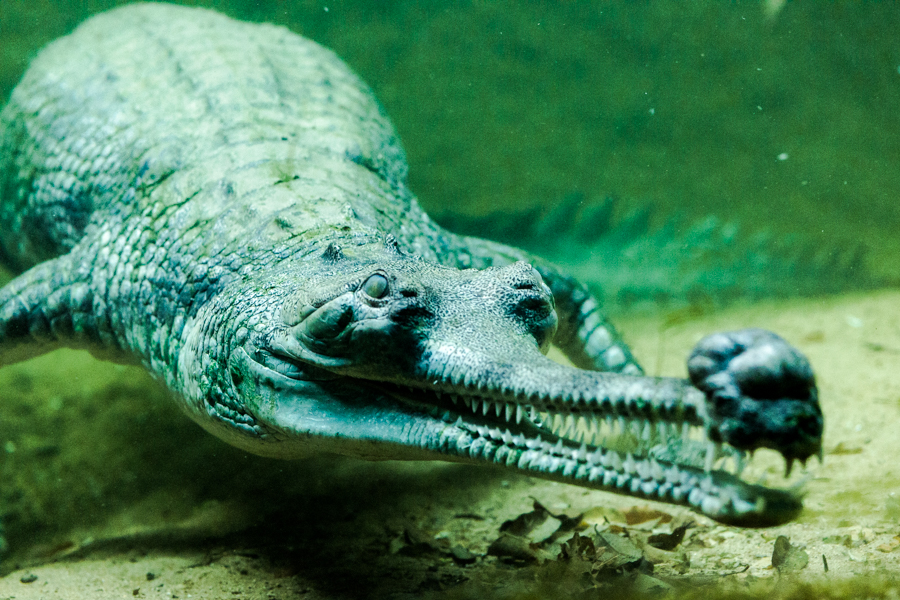 The gharial has a face only a mother (gharial) could love. It is one of the the longest living of all crocodiles. This individual, named Gharfield, was born in 1991. The species, native to the northern part of the Indian Subcontinent, are critically endangered.