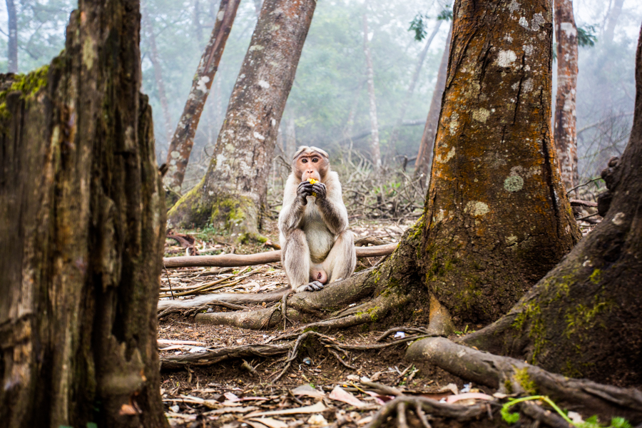 Monkey eating a piece of fruit in the forests around Kodaikanal.