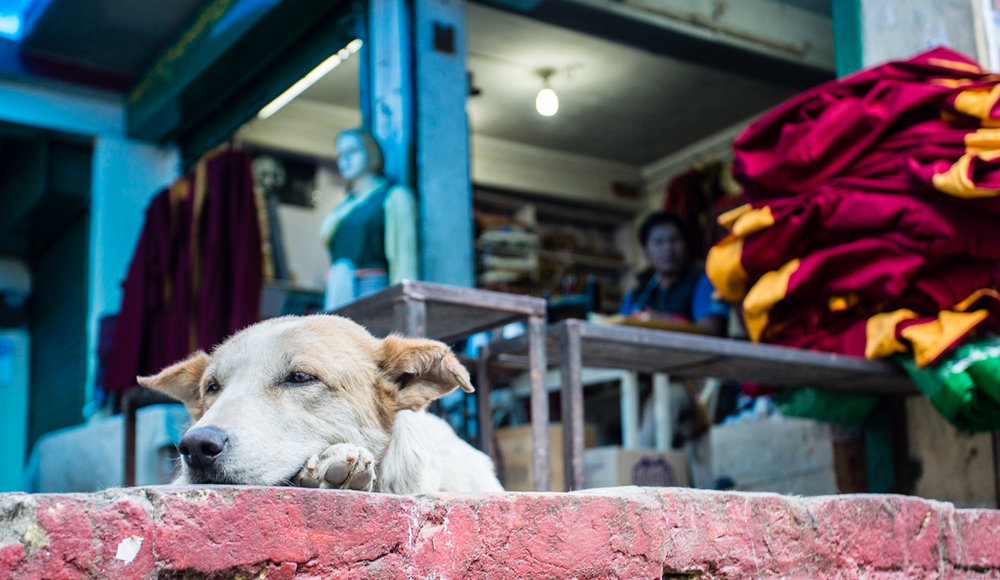 A dog loafing in front of a tailor shop across the street from the Tsuglagkhang complex, a pile of robes stacked in front of the store. Buddhist monks traditionally adorn crimson and gold robes said to represent the colors of autumn leaves, as a reminder that all things are impermanent.
