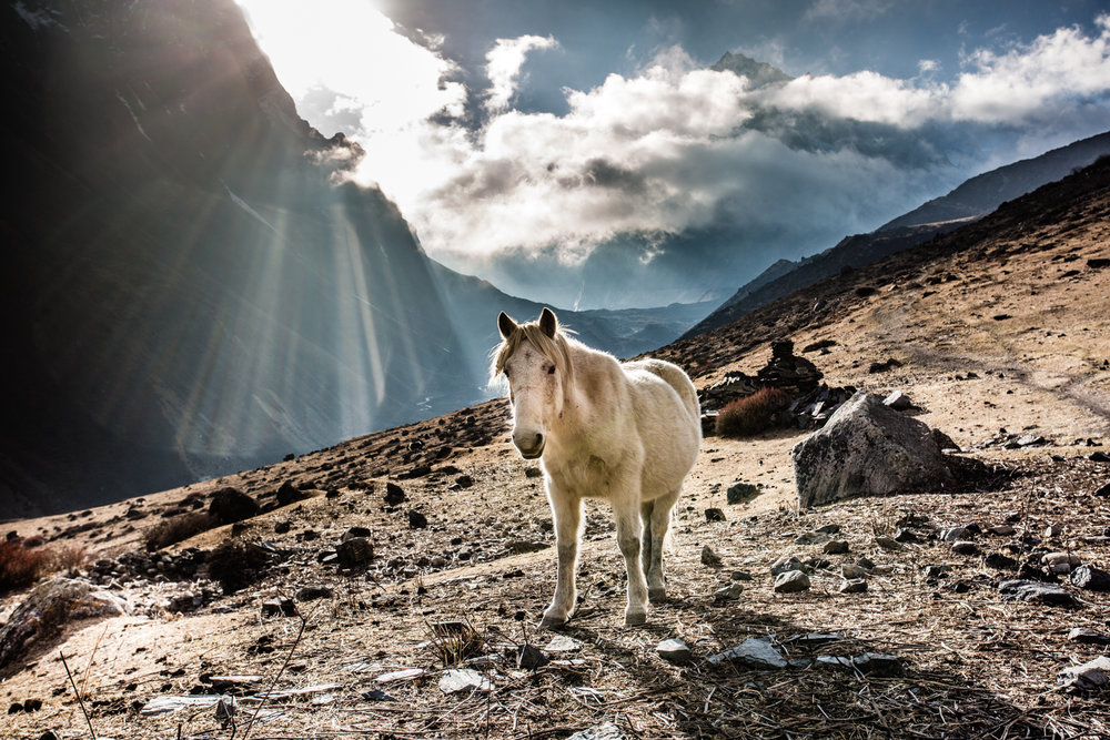 Manaslu Reserve. Horses are used for transport of people and goods, and farm work.
