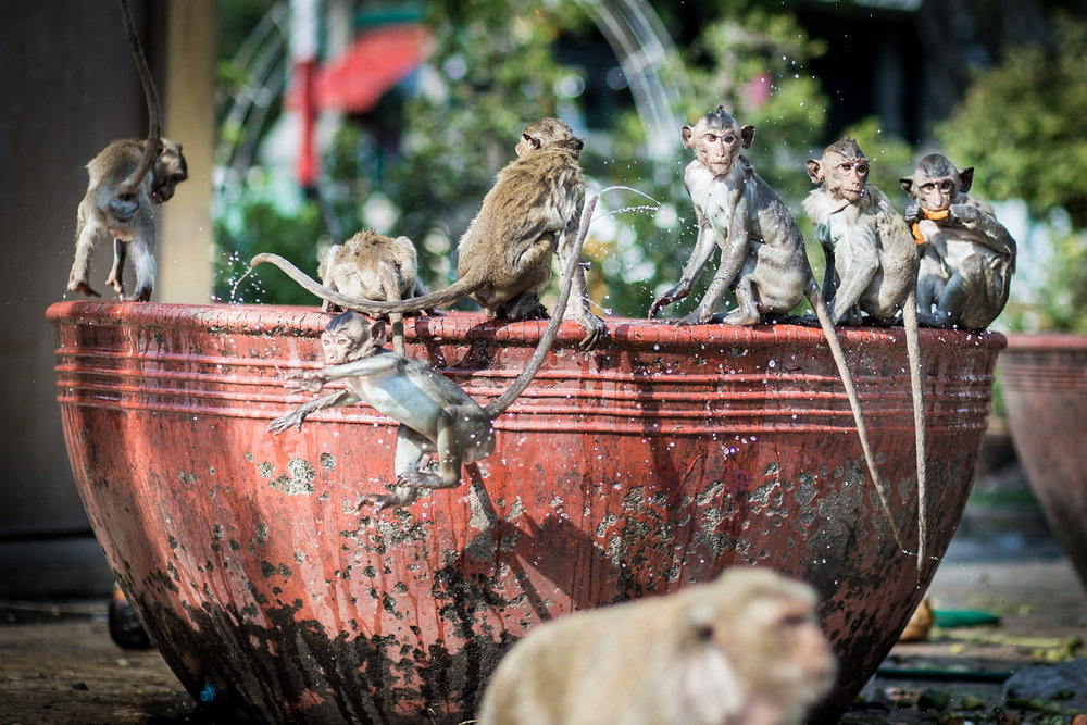 Food is laid out for the monkeys at the San Phra Kan shrine, one of Lopburi's holiest site. The act of feeding the monkeys is done as a show of gratitude to the gods after an auspicious event.