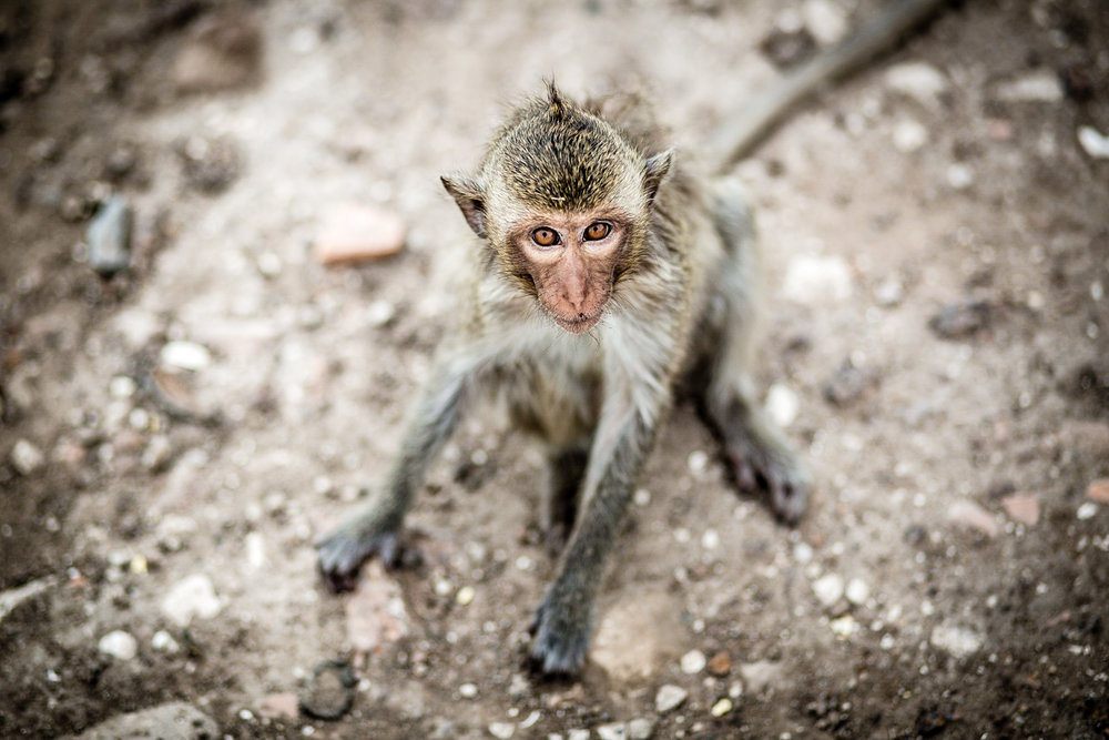 Curious little fellow at Prang Sam Yot.