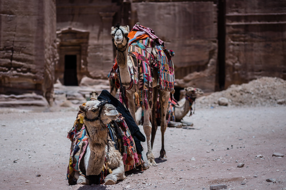 Bedouin camels hanging out in from of The Treasury.