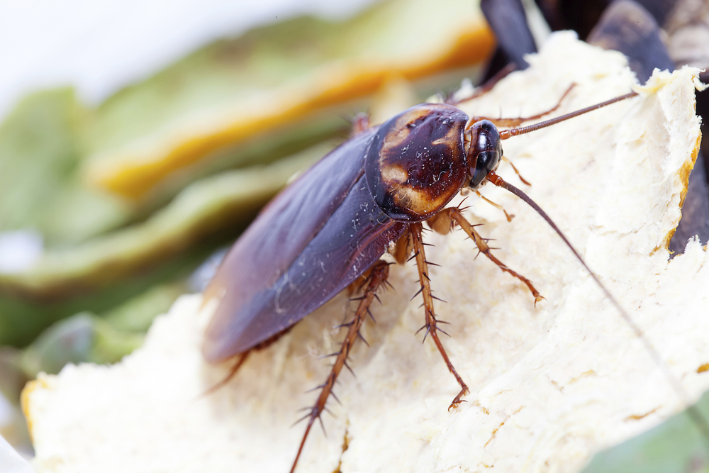 American cockroach low res .jpg