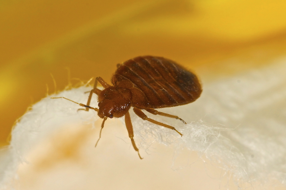 Bed bug low res.jpg