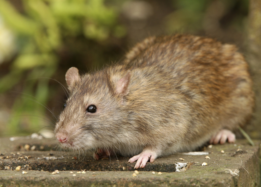 Brown rat low res.jpg