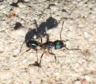 Green head ants give a painful sting