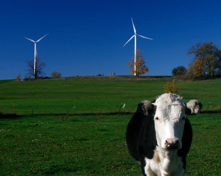 TGC Renewables Wind Turbines Cow.jpg