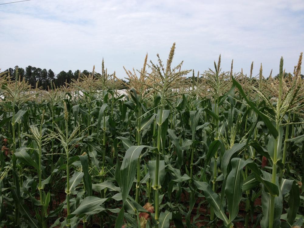 Corn July 2012