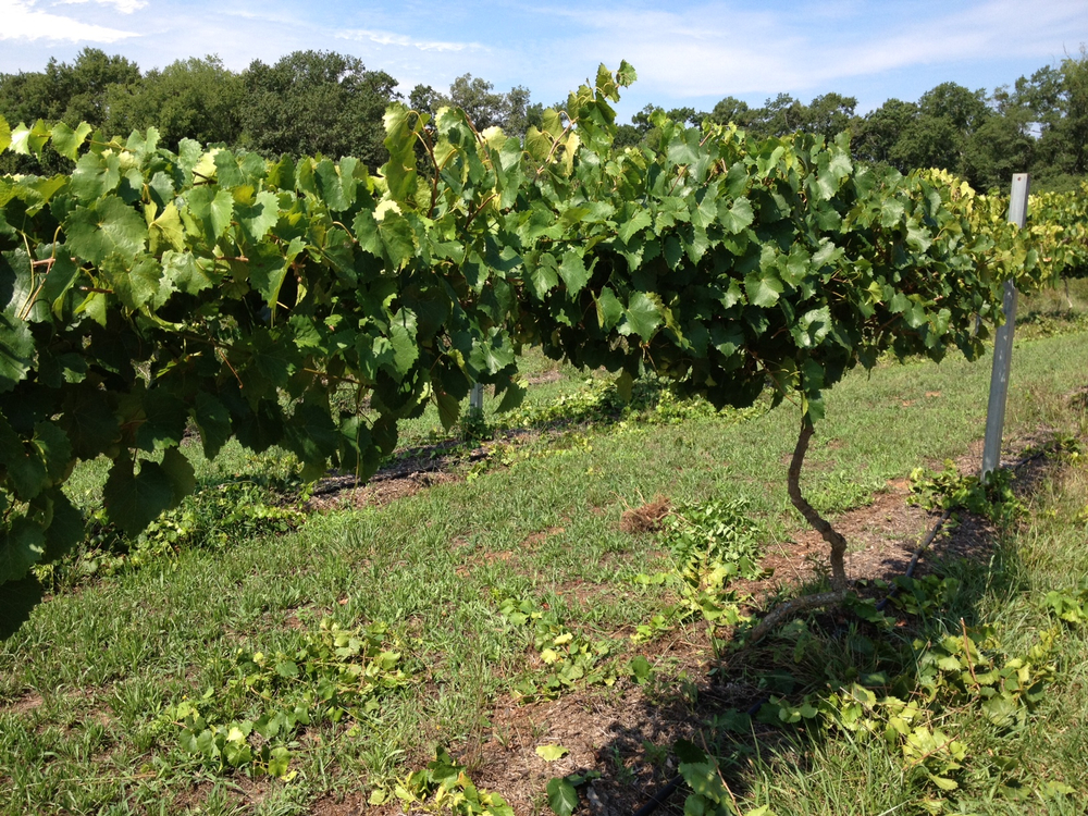 Muscadine July 2012