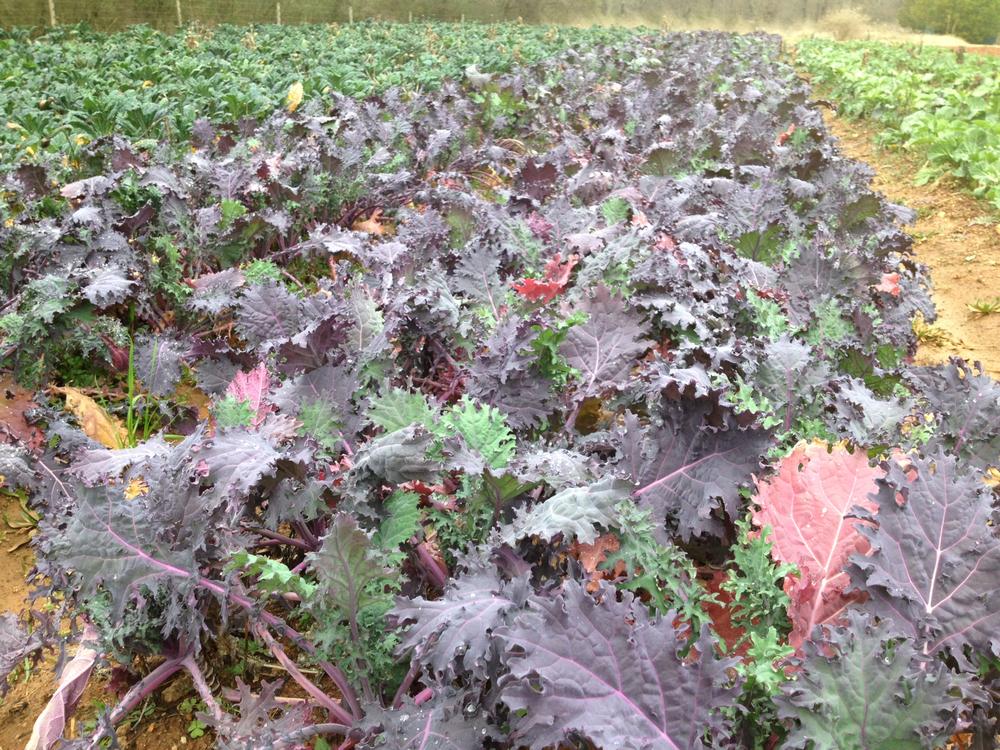 Red-Kale-JAN-2013.jpg