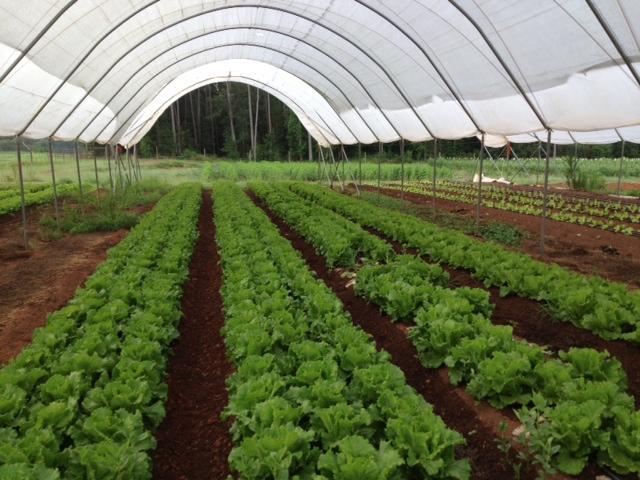Lettuce-2013.jpg