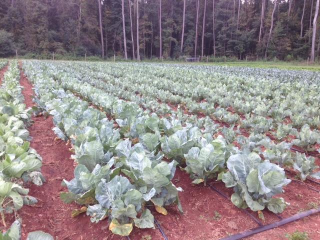 Brassica 2013