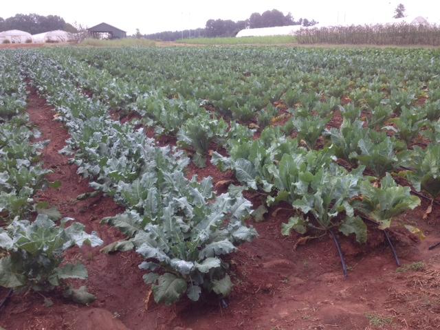 Brassica II 2013