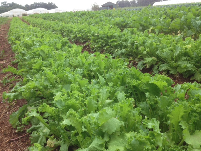 mustard greens 2013