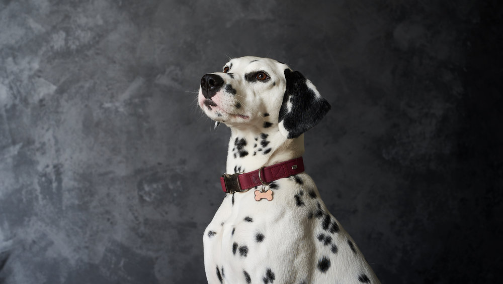 dalmation dog pet studio portrait photography black and white collar