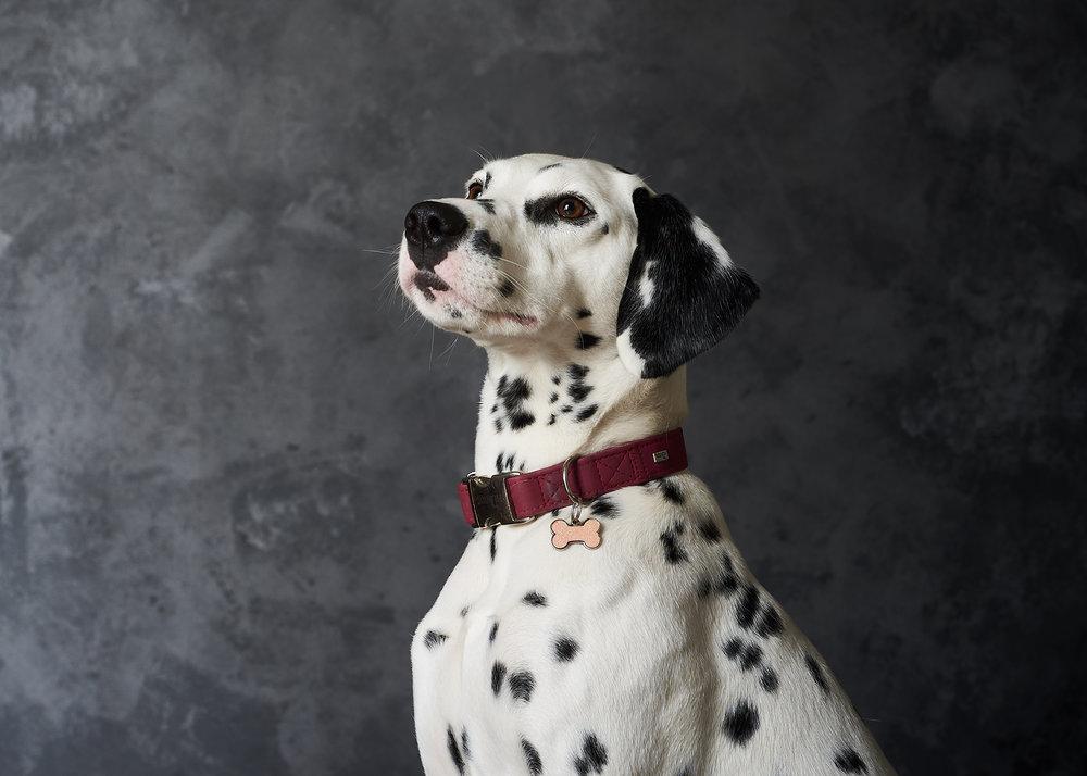 pet portrait photography studio portraits location walk collar dalmation