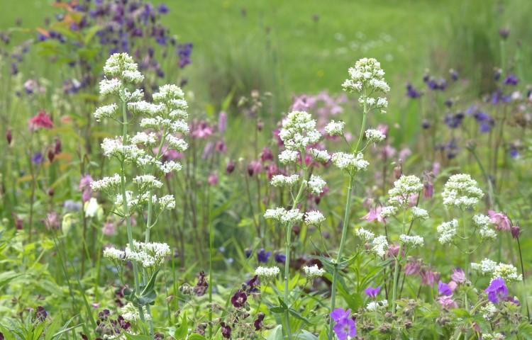 Valeriaan, akeleien en geraniums (ooievaarsbek) 5537 - kopie (Small).jpg