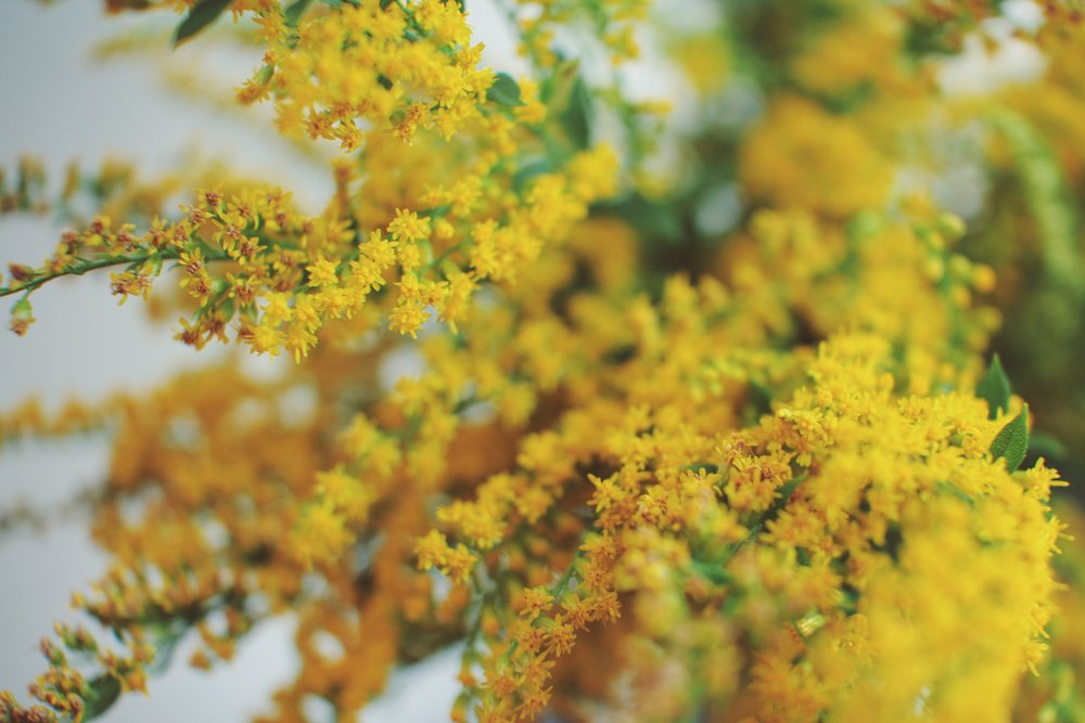 Golden rod: properties, use and contraindications 66