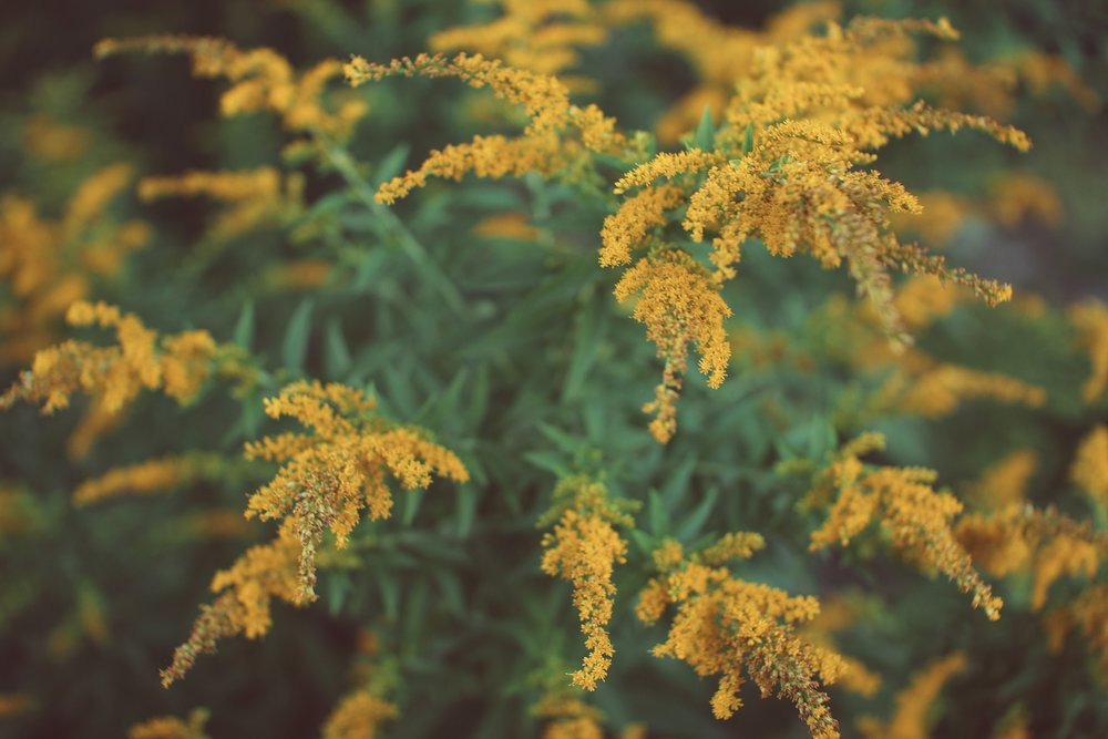 Golden rod: properties, use and contraindications 76