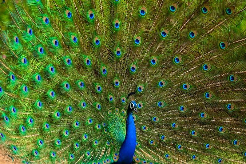 bird of india.jpg