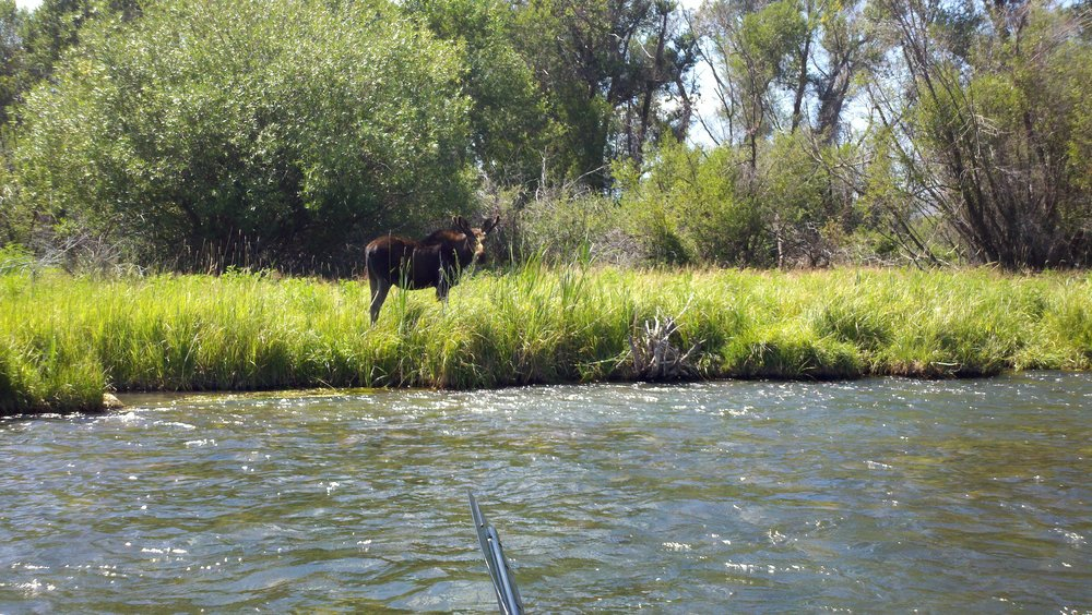 Madison river fly fishing guides outfitters fwo for Madison river fly fishing