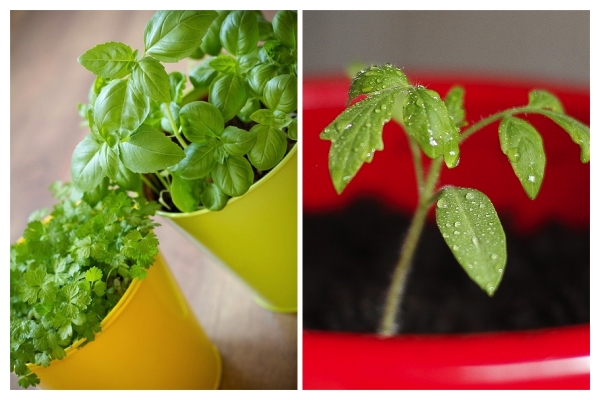 IMAGE via Pixabay / Tomato seedlings and herbs like basil and cilantro are great already-started plants for first-time gardeners to buy and stick in a pot.