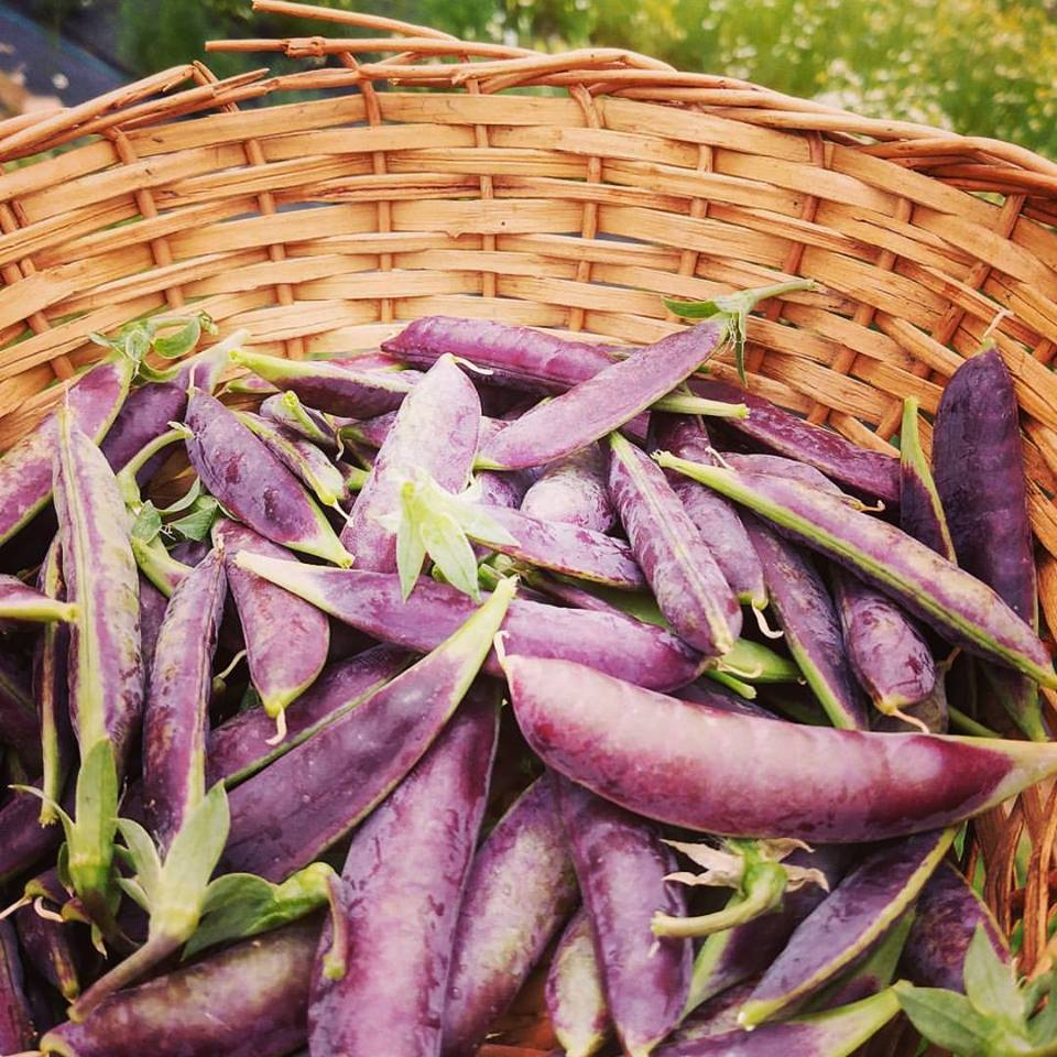 purple peas.jpg