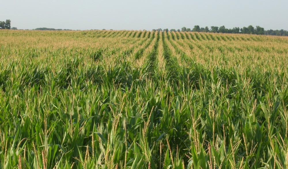corn-field-007-47f3b7-2048x1207-6d77b0.jpg