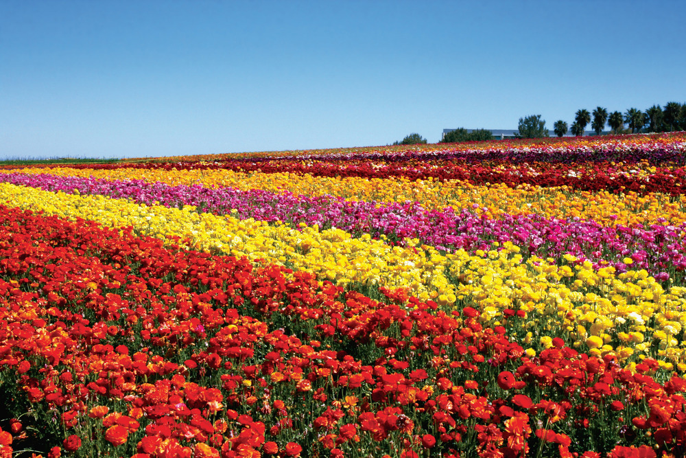 Photo Credit: Flower Fields of Carlsbad