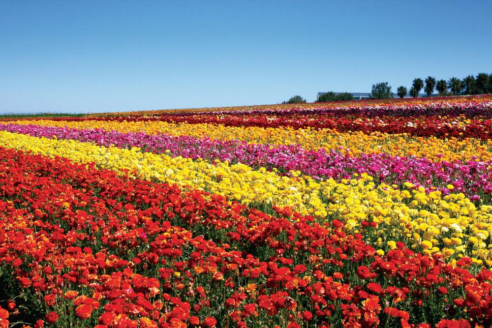 Photo Credit: Flower Fields of Carlsbad