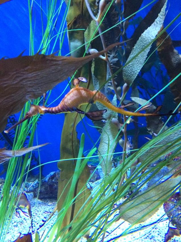 Sea Horses and Dragons Exhibit at The Aquarium of the Pacific