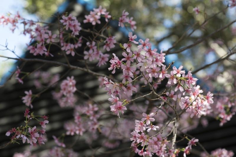Descanso gardens cherry blossom festival cleverly catheryn Cherry blossom festival descanso gardens