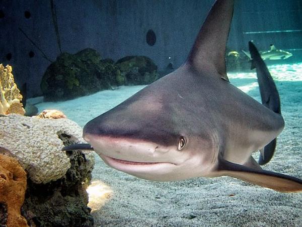 sandbar-shark-2_LRG_530_400_85shar-70-.5-5_s_c1_c_c_0_0_1.jpg