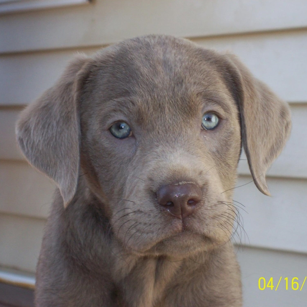 Dilute Chocolate Lab