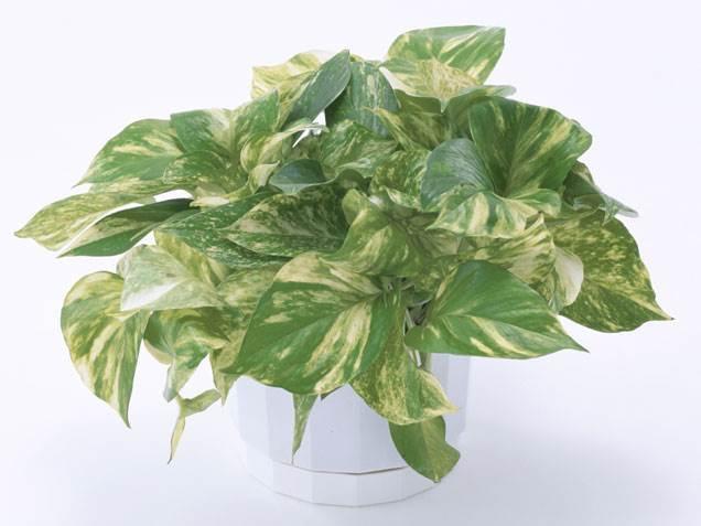 Pathos Plant Image Via