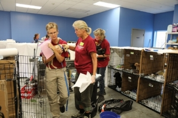 The volunteer team from RedRover Responders helped with getting the pups ready for transport from St. Hubert's to other shelters.