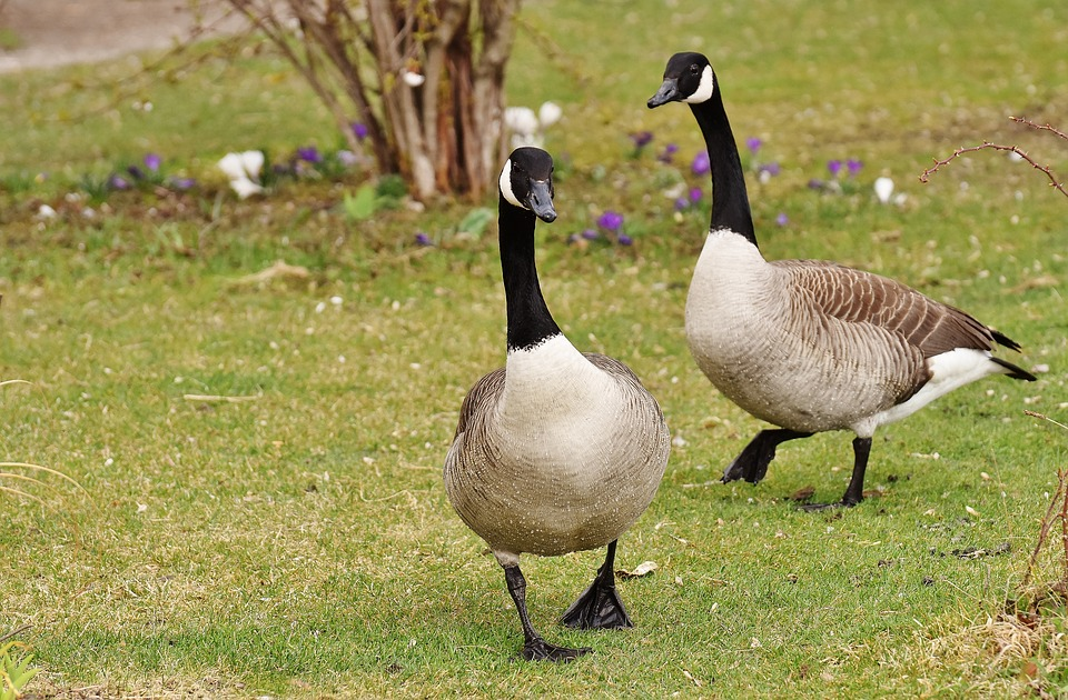 wild-geese-2166051_960_720.jpg