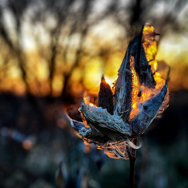 Milkweed at sunset on a hike in Iowa over Thanksgiving. #prairiecreektrail #throwbackwednesday