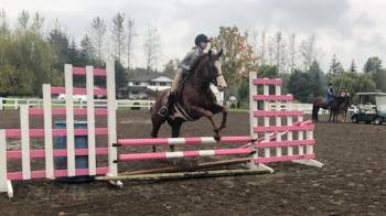"""Billy - Full or half lease  Extra safe but extra capable kind of guy. Flying changes, brave to the jumps, even canter - makes him a dream for the show ring too. 15.2 Paint gelding with a big heart that can take a walk trot rider to the 2'6"""" ring"""