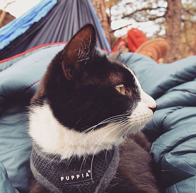 #cathaiku  A peaceful morning.  In my blue hammock, I hang.  Thoughts of mutiny.  #campingwithcats @exploration_cat