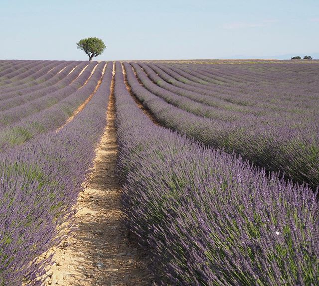 Dreaming of the incredible lavender fields back in Provence...the smell in the air was heavenly! . . . . . . .  #travelgram #travelbug #traveltheworld #instatravel #traveladdict #globetrotter #travelblog #instapassport #backpacking #wanderlust #wanderer #travelblogger #travelgirl #traveldeeper #travelstoke #travelawesome #doyoutravel #passionpassport #exploringtheglobe #willjourney #glt #charmedtraveler