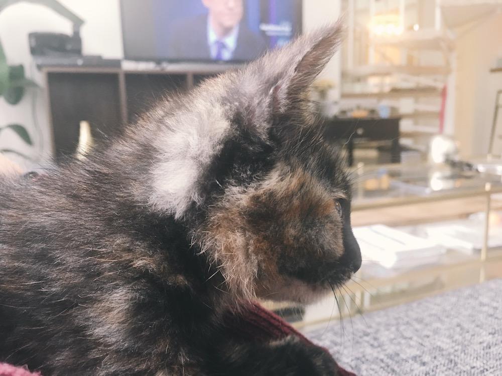 Cute calico cat and TV