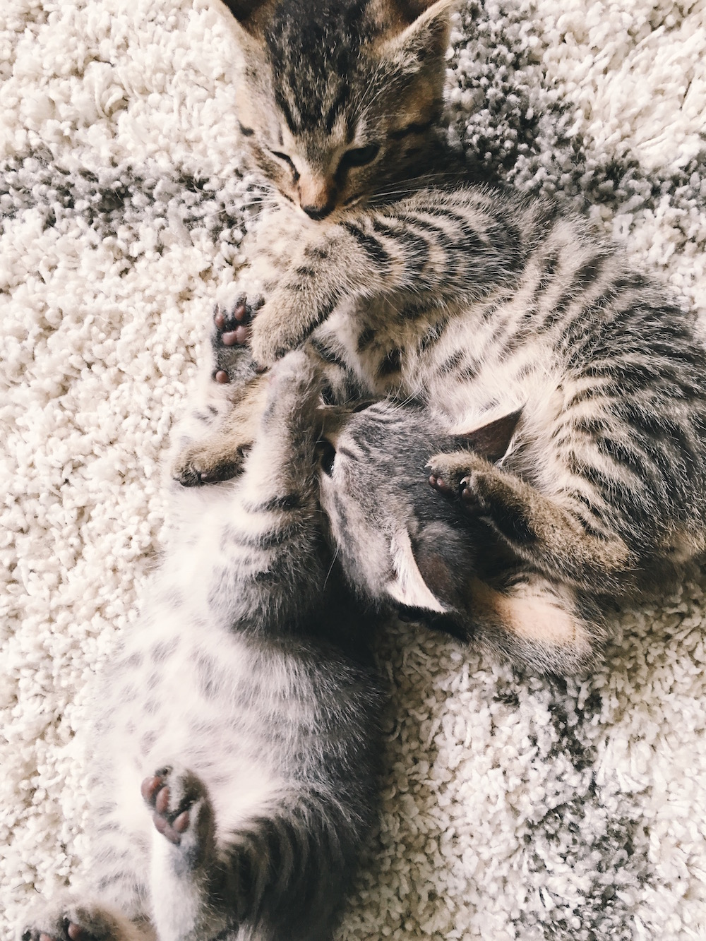 Grey and normal tabby play on carpet