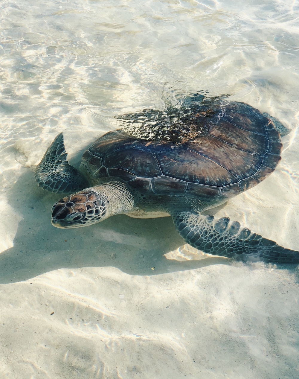 Sea turtle swimming at animal sanctuary Grand Hyatt Baha Mar Bahamas