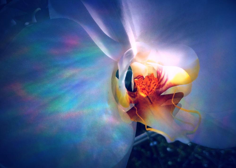euphorchid