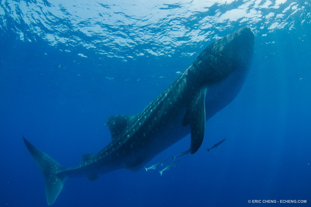 Whale Shark in Isla Mujeres, Mexico