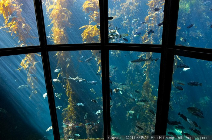 Kelp forest tank, Monterey Bay Aquarium